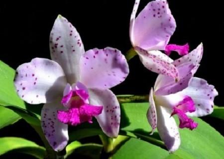 Les conquistadores eurent l'occasion d'apercevoir de merveilleuses orchidées, telle la Cattleya amethystoglossa. Comme la plupart des milliers de variétés originaires de l'Amazone, ces orchidées sans racines sont des épiphytes s'accrochant aux arbres, à une certaine hauteur du sol. Image libre de droits.