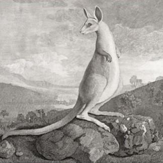 Kangourou par Parkinson