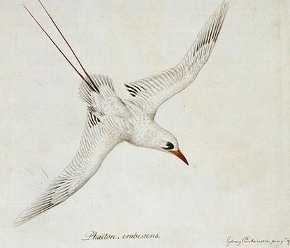 Oiseau phoeton