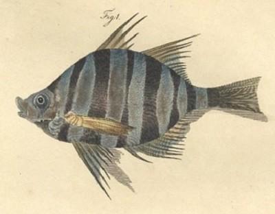 Un poisson couvert de piquants, peint en Nouvelle-Zélande par George Forster, un des naturalistes de l'expédition.